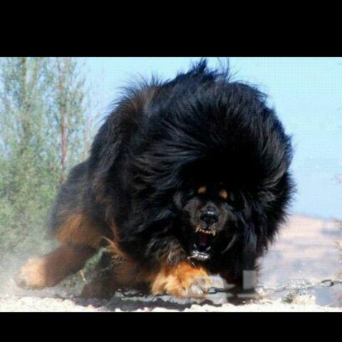 الكلب الاسد
